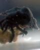 Black Sponge Crab