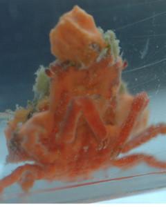 Orange Sponge Crab (Oregonia sp.)
