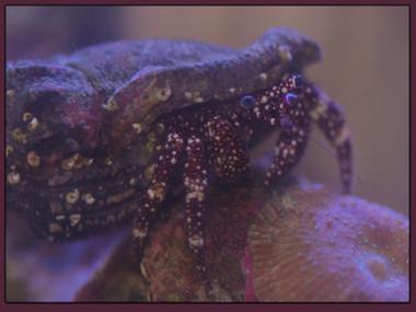 Starry Hermit Crab