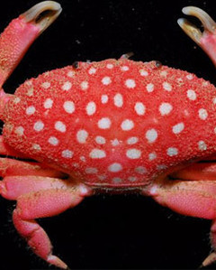 Saltwater Strawberry Crab