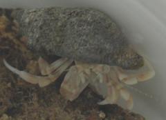 Clibanarius sp