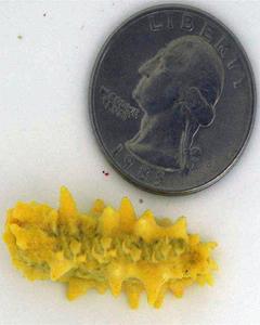 Mini Yellow Cucumber