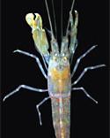 Green Pistol shrimp