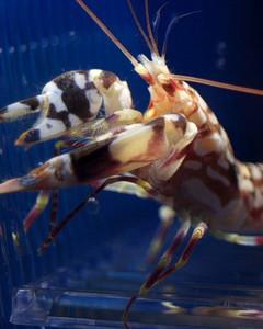 Randalls pistol shrimp