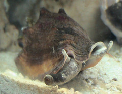 Fighting Conch Snail
