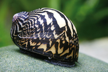Olive Nerite Snail – Imperial Tropicals