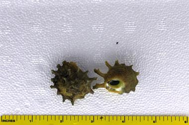 Spiny Star Astraea Snail