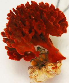 Red Ridge Sponge