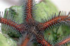 BubbleTip Star Fish (Ophiomastix annulosa)