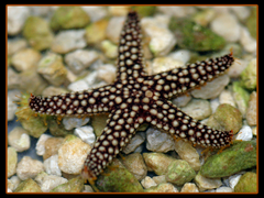 Yellow Conical Starfish