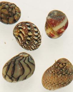 Tapestry Nerite Snail