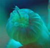 Dendro eating an Amphipod