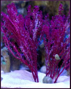 Red Grape Tree Macro Algae (Botryocladia sp.)