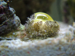 Money Cowrie (Monetaria moneta) - Small