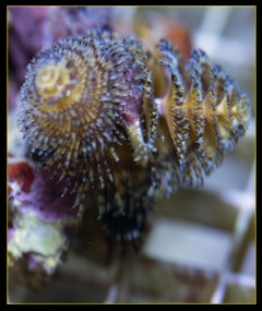 Blue & Gold Christmas Tree Worm Rock (Spirobranchus giganteus)