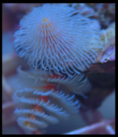 White Christmas Tree Worm Rock (Spirobranchus giganteus)