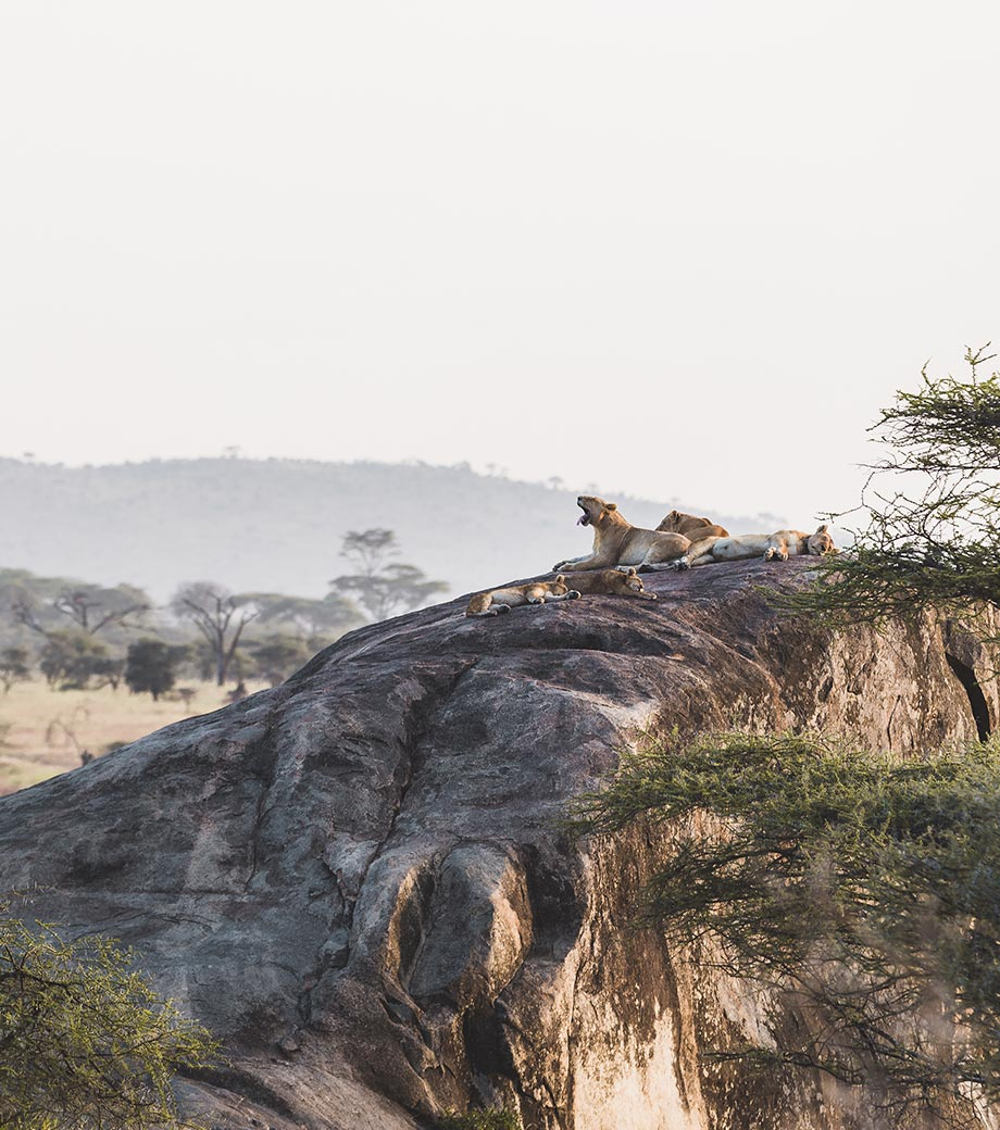 Discovering The Lion Prides of Tanzania