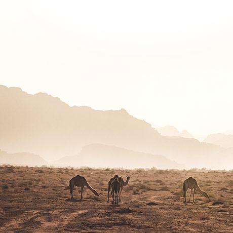The Camels Of Jordan