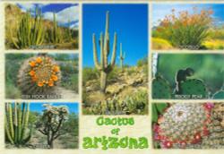 Arizona Cactus Postcard - Pack of 100