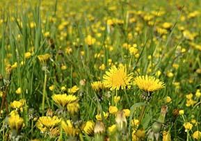 dandelions-126421944.jpg