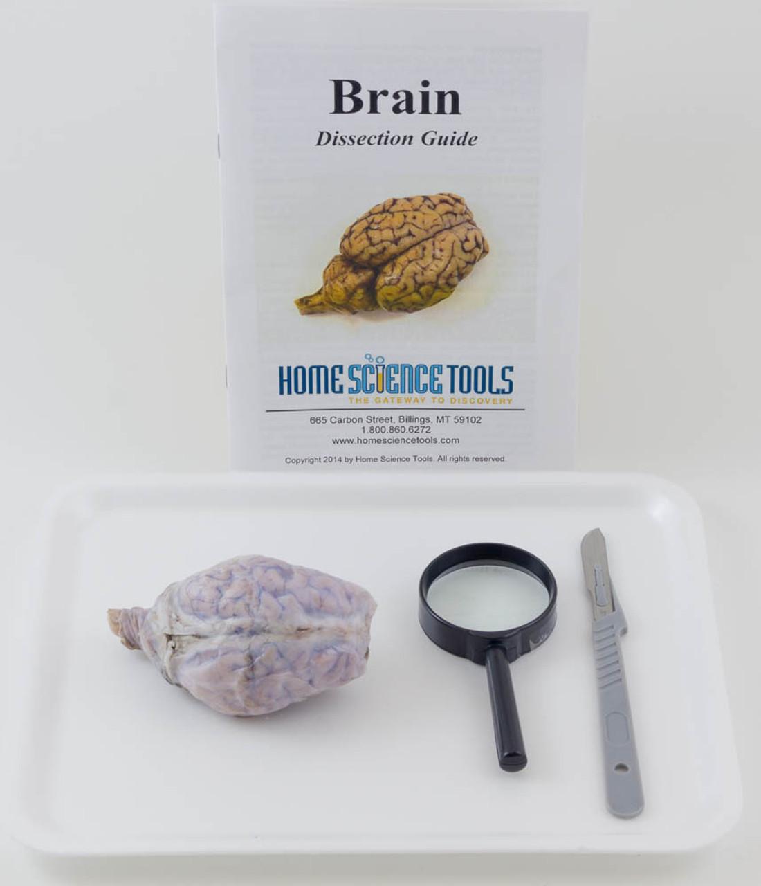 Sheep Brain Dissection Kit – Sheep Brain Dissection Worksheet
