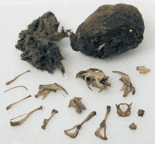 how to clean bones from owl pellets