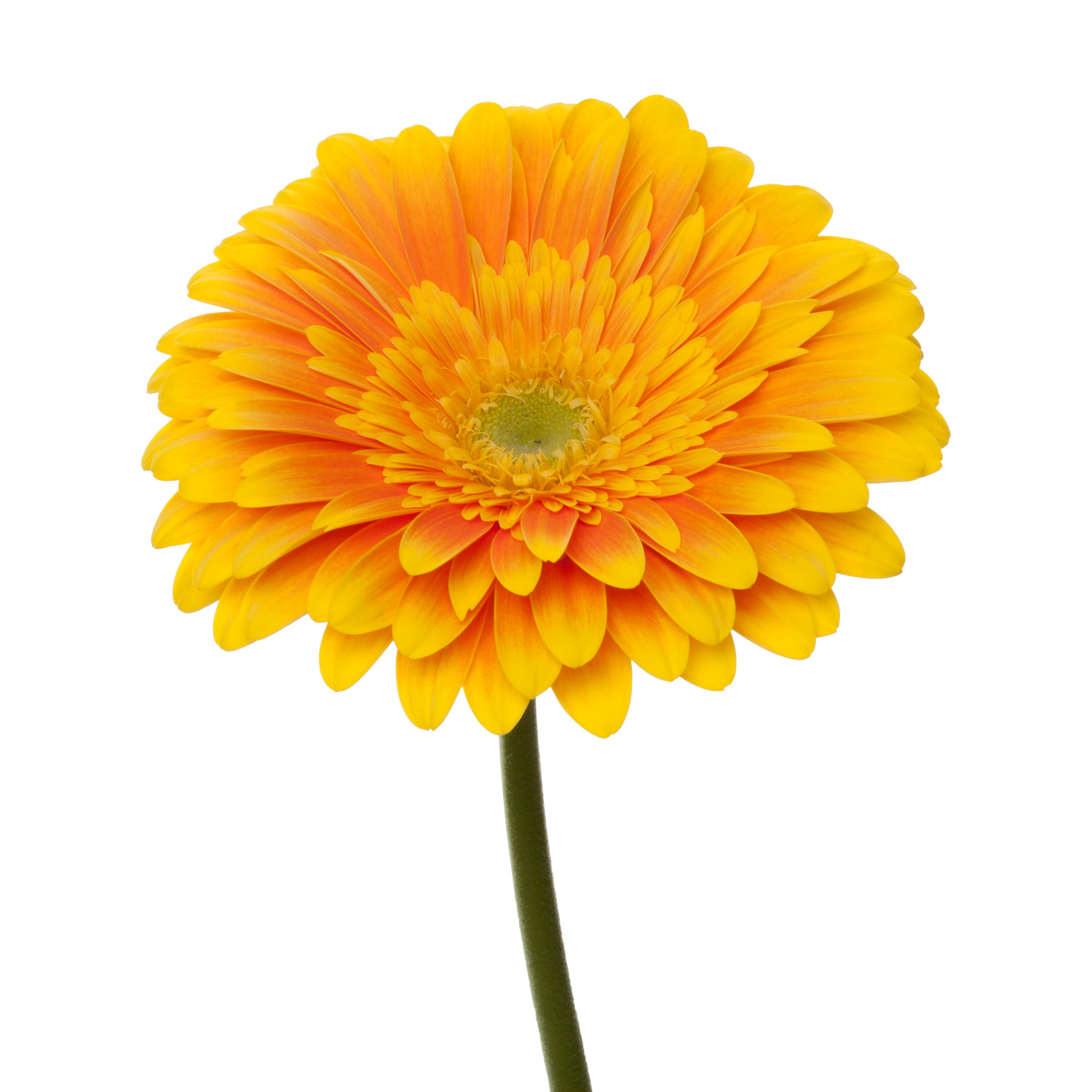 bi-color bulk gerbera