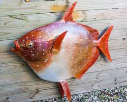 Opah or Moonfish fiberglass replica