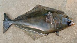 Halibut fiberglass fish replica