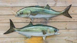 Bluefish fiberglass fish replica