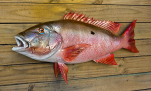 Snapper Mutton 30 inch full mount fiberglass fish replica