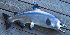 Silver or Coho Salmon replica