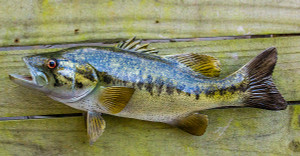 Largemouth Bass fiberglass fish replica