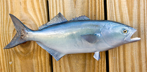 Bluefish 13 inch Full Mount Fiberglass Fish Replica