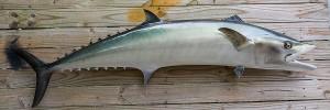 Kingfish, King Mackerel fiberglass fish replica