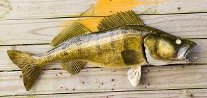 Walleye fiberglass fish replica