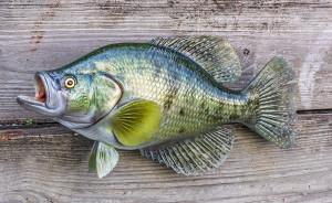 White Crappie fiberglass fish replica