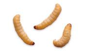 Waxworm (Wax Moth Larvae)