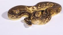 Pastel Calico Royal (Ball) Python Female Adult ♀