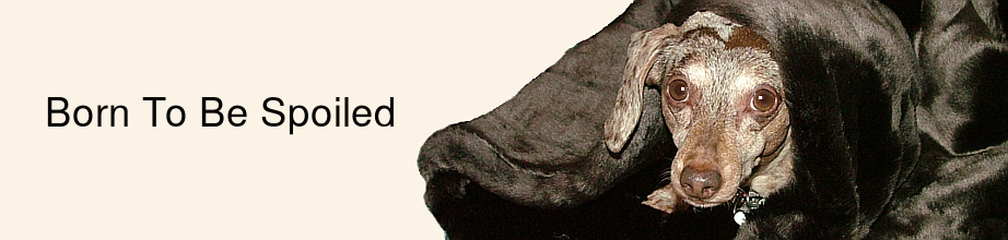 dachshund-parent-heidi-minky-spoiled-update.png