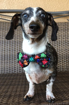 Argyle Dog Bow Tie