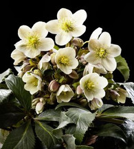 Helleborus x ericsmithii HGC 'Winter's Song' now called 'Joker'
