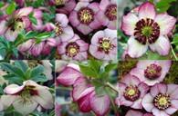 Helleborus x hybridus NGN Sin Cherry Blossom Strain