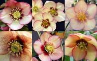 Helleborus x hybridus NGN Sin Apricot Blush Strain