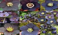 Helleborus x hybridus NGN Sin  Black Diamond Strain
