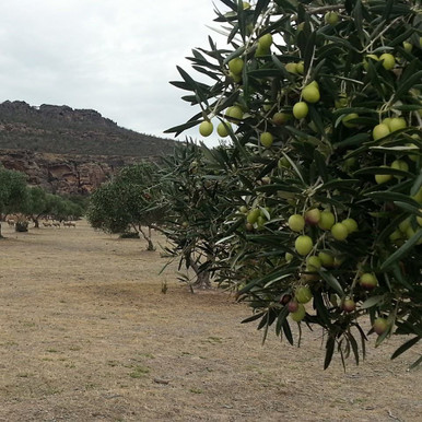 Organic olives for cold pressing into extra virgin olive oil first harvest