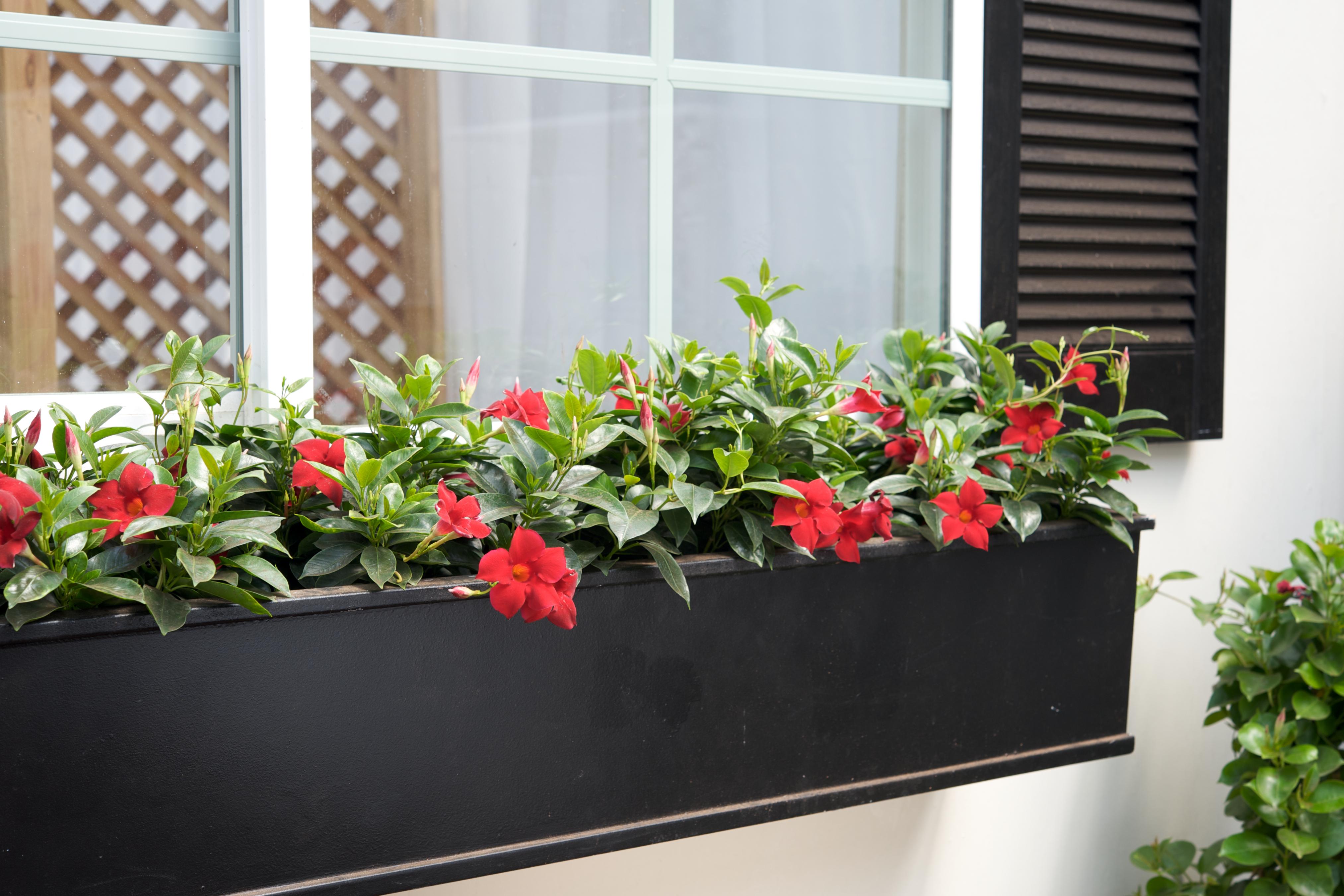 Sun Parasol Garden Crimson mandevilla complimenting black window box planter.
