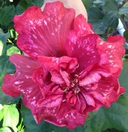 Bold Idea Cajun hibiscus