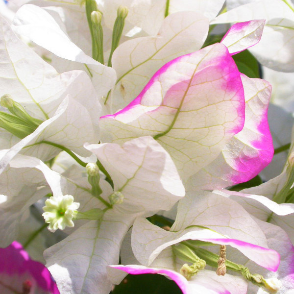 Buy Imperial Thai Delight bougainvillea now