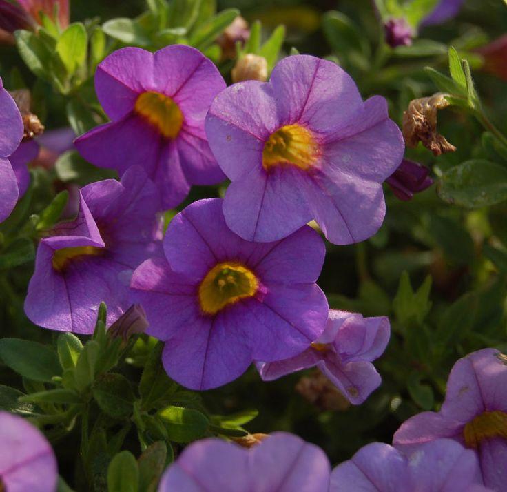 million-bells-mounding-lavender-improved-calibrachoa.jpg